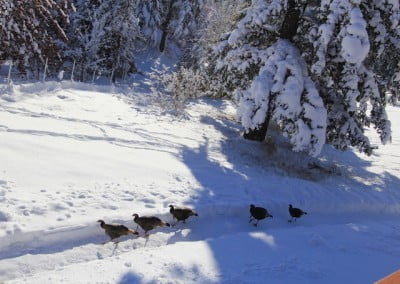 Turkeys on a snow covered hill