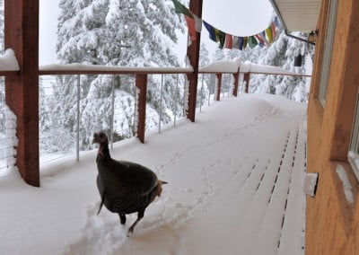 Mister Turkey makes tracks on the deck.