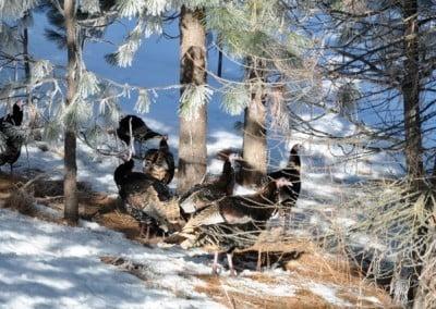 Turkeys in snowy ground