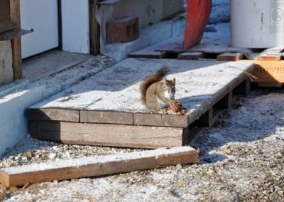 A squirrel on a wood deck.