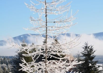 A tamarack tree clothed in frost.