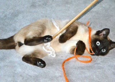 A siamese cat plays with a toy