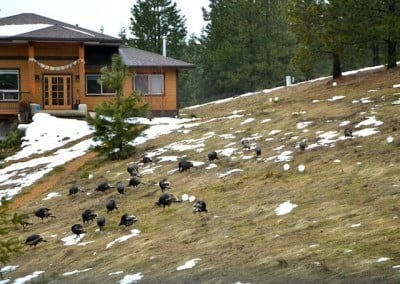 With the snow almost gone, the turkeys begin to feed on the new green grass shoots.