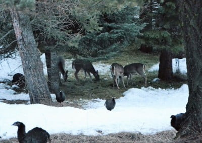 Deer and turkeys - Washington
