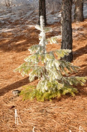 Little snow fall and morning frost bring  color and brightness to this small fir tree.