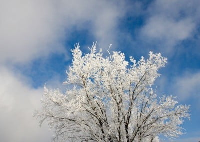 A snow covered tree against a blue sky
