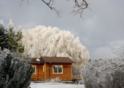 A snow covered willow tree behind a cabin