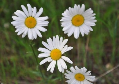 Although considered a noxious weed by some, the ox-eye daisy brightens up the trails to the forest.