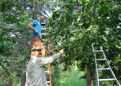 Nate and Christiaan help net the cherries before they ripen.