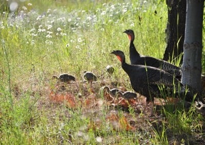 Mother turkeys share the childcare.