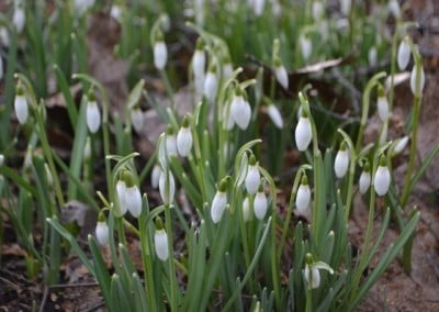 Delicate but brave, these little the snowdrops are the first flowers to poke through the thawed winter ground.