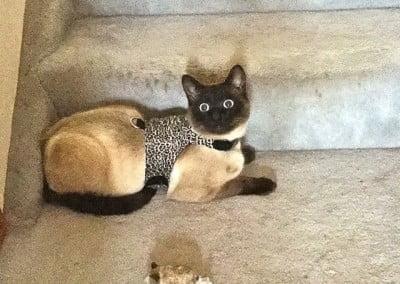 Upekkha, our newest feline resident, models his new walking jacket.