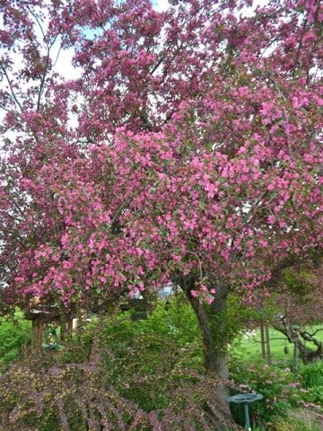A tree covered by pink flowers.