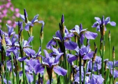Irises in full bloom.