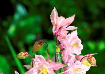 Fresh bloom of pink columbine flowers.