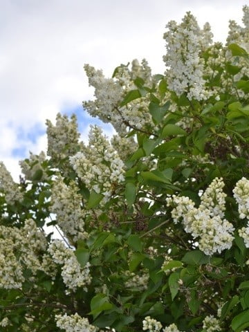 Clusters of white flowers.
