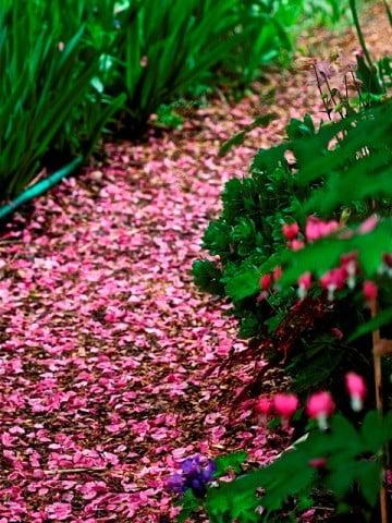 Pink petals cover the path through the garden.