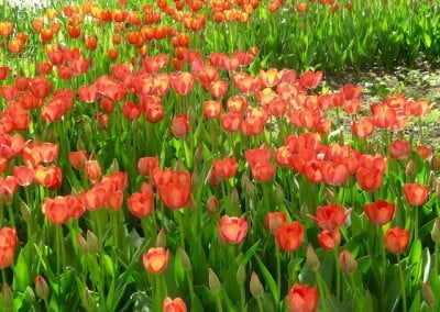 A field of tulips.