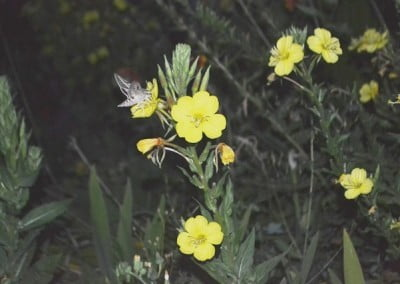 A hummingbird moth feeding on evening primrose that is yellow in color.
