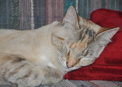 A close up of abbey cat, Karuna sleeping, it's head is lying on a red towel.