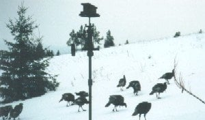 Lots of turkeys came to visit and stroll in the snowy forest. (Jan 04)