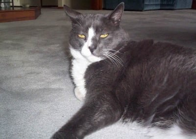A grey abbey cat laying on white carpet