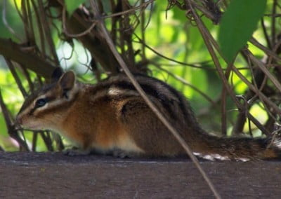 The chipmunks at the Abbey have gotten quite tame and have no shyness <br> when lunchtime arrives.