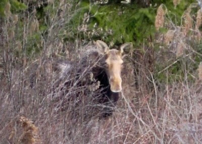 Venerable Jigme captured this photo of one of our moose friends that lives in the Abbey forest.