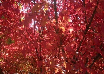 Closeup of tree with red leaves