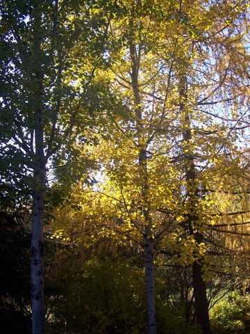 The brilliant colors of the aspen trees in <br>the garden glisten in the late fall sun.