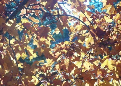 "The ""King Crimson"" maple with the bright sun behind has almost a transparency in its leaves."