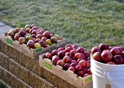 Boxes of apples in the sun
