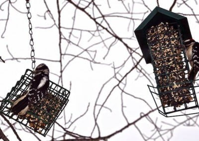 Male and female downy woodpeckers visit our vegetarian bird feeders.