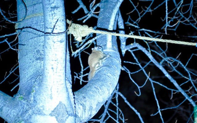 Flying squirrel in tree at night