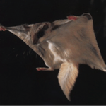 Flying squirrel with membrane outstretched