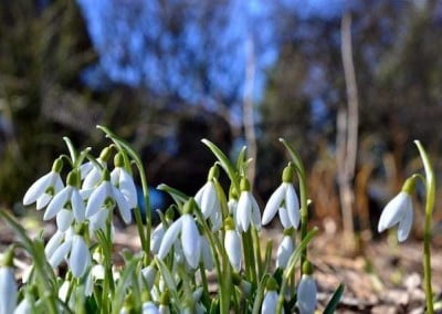 Snowbells in the bright sun.