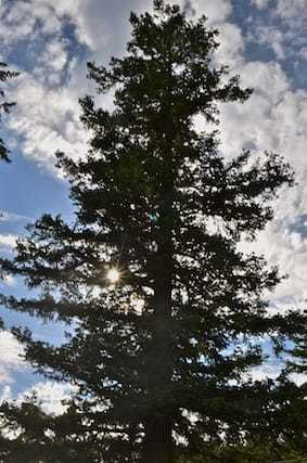 tall fir tree against blue sky and clouds