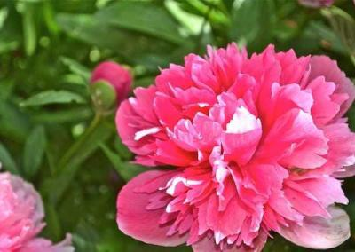 Pink frilly flower