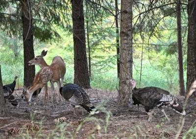 Deer and turkeys together in forest