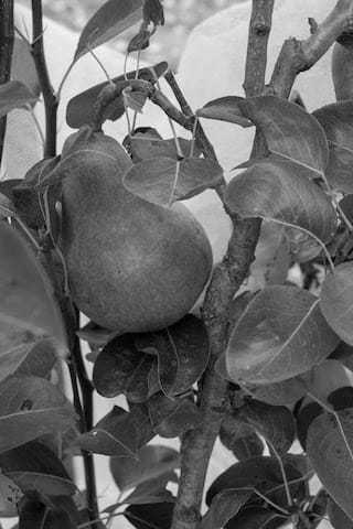 black and white image of pear
