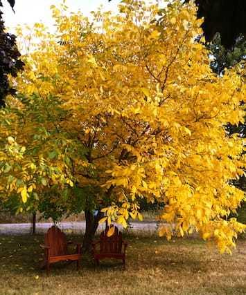 yellow folliage