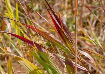 Grasses turn from green to yellow, red to brown..