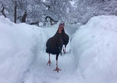 About 40-50 turkeys are spending the winter at the Abbey. They benefit from the alfalfa we feed the deer and from their safe roosts in the Abbey's tall trees.