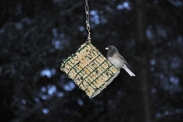bird eating bird seed