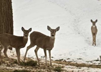 Deer looking at viewer in snow