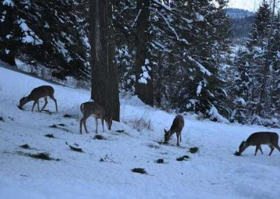 Every night one of the monastics feeds alfalfa to the deer, that the turkeys appreciate it too in this very cold and snowy weather.