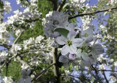In front of Shanti Cabin you can see apple blossoms in full bloom.