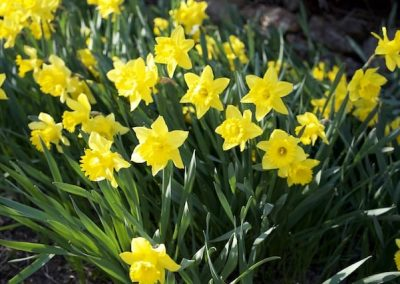 For a short time, we enjoyed the daffodils blooming throughout our gardens.