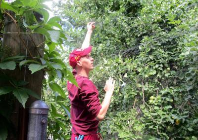 Ven. Choephel helps protect the ripening Transparent apples from the turkeys.