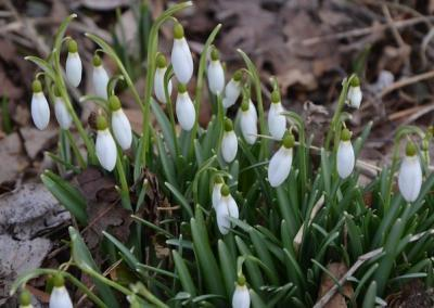 "The first snow bells are showing their beautiful heads: ""May the crown of the head of all beings be seen by all the world and the gods."""